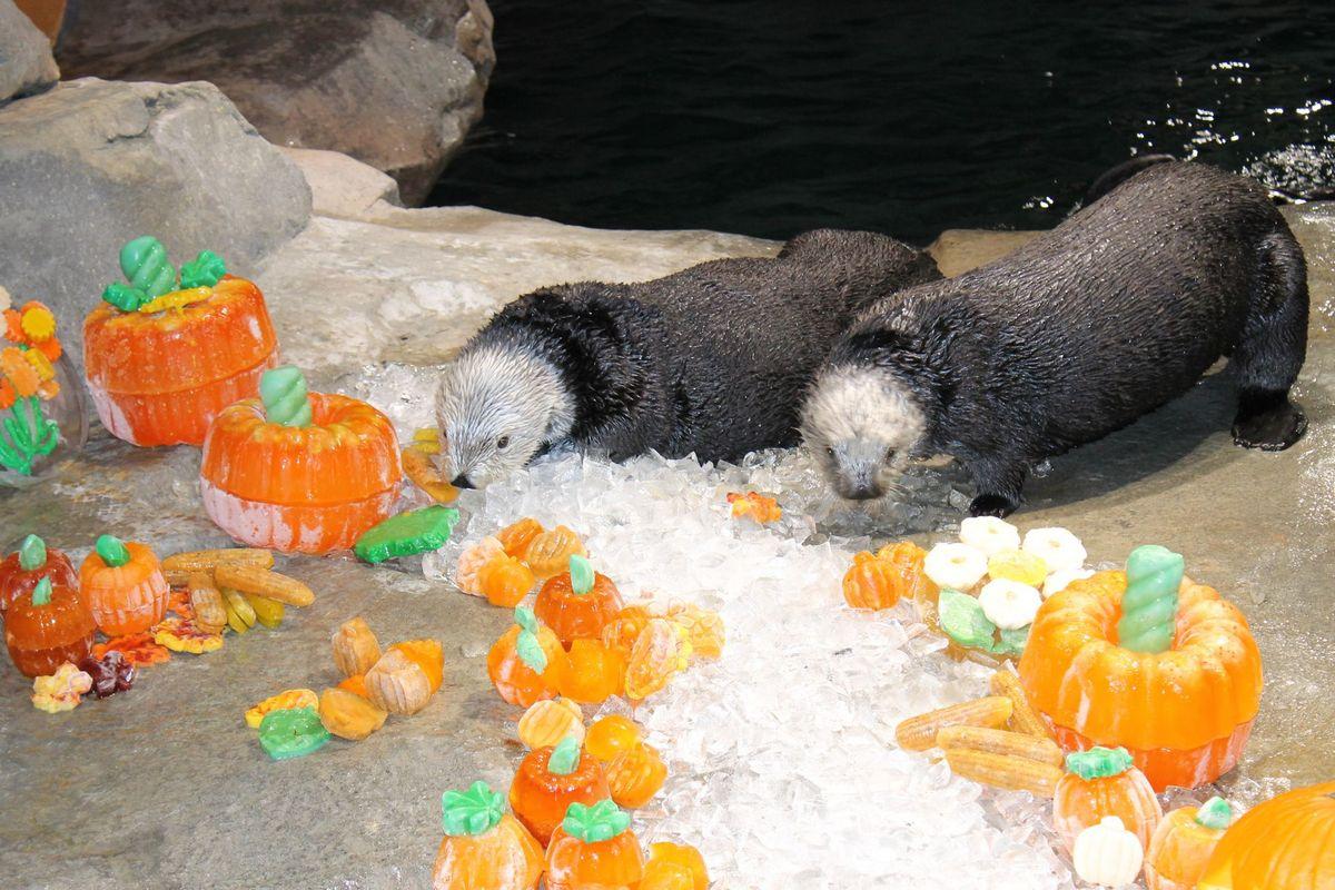 Animals enjoy pumpkin treats at the Georgia Aquarium. Photo courtesy of Georgia Aquarium.